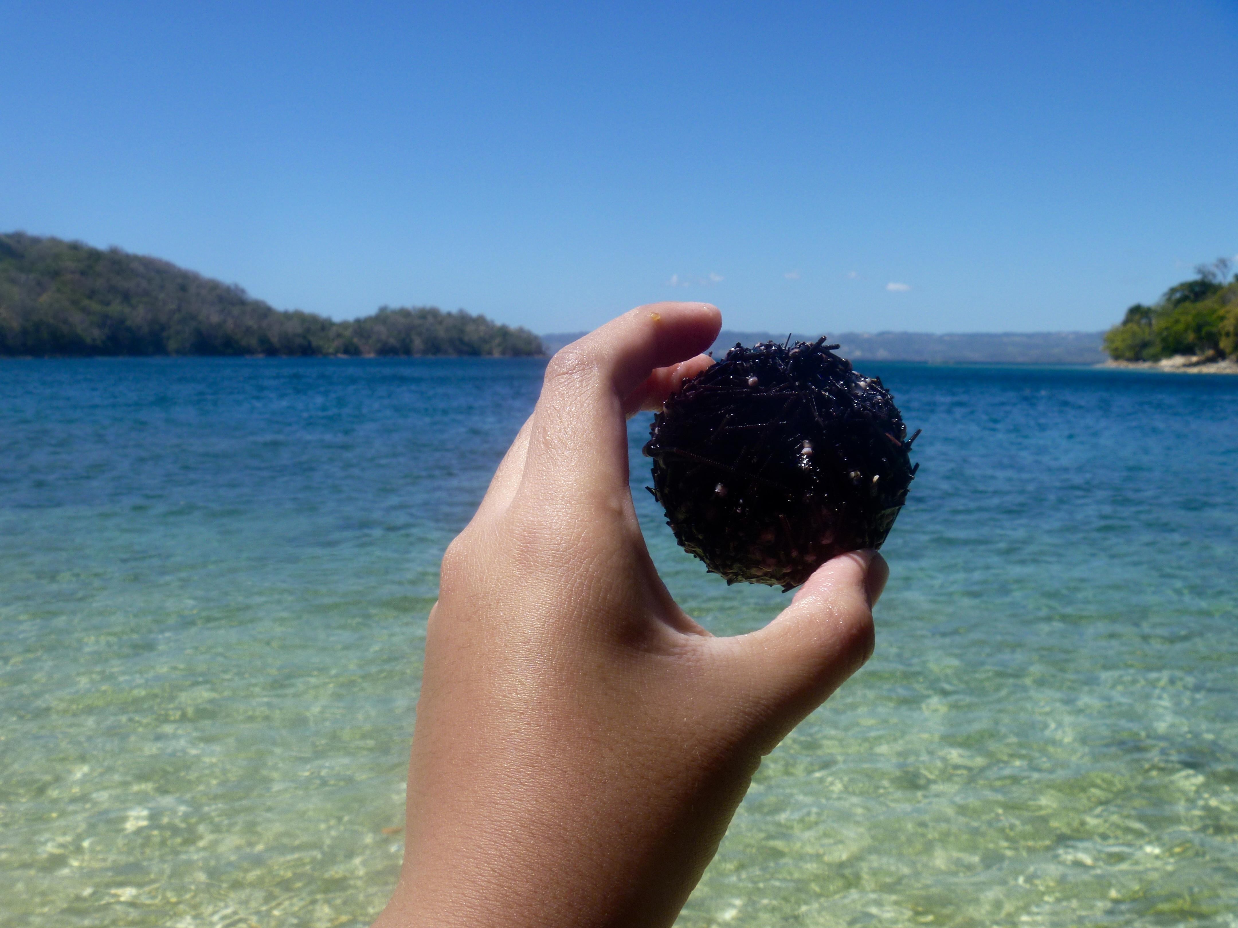 tasting sea urchin in mindoro